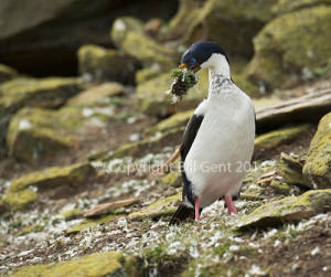 An Imperial shag at The Rookery, Saunders Island, Falklands Island
