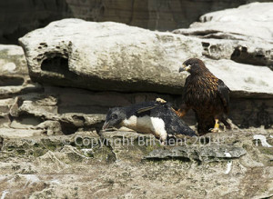 A rockhopper chick being attacked by a striated Caracara, The Neck, Saunders Island