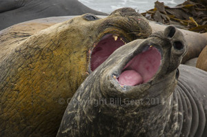 A pair of male elephant seals sparring on Sea Lion Island