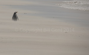 Gentoo penguin plodding through wind-blown sand, Bleaker Island