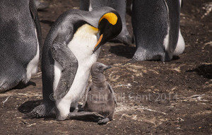 A preening King Penguin and Chick