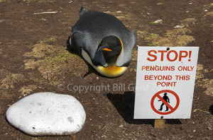 King Penguin in the colony
