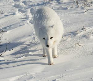 An Arctic fox in the sunlight