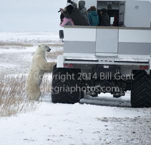 A polar bear checking out the Tundra Buggy