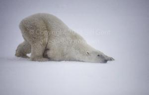 A polar bear cleaning itself near Churchill