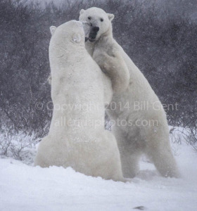 A pair of young, male polar bears sparring