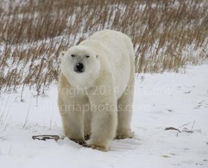 A young, male polar bear near Churchill, Canada