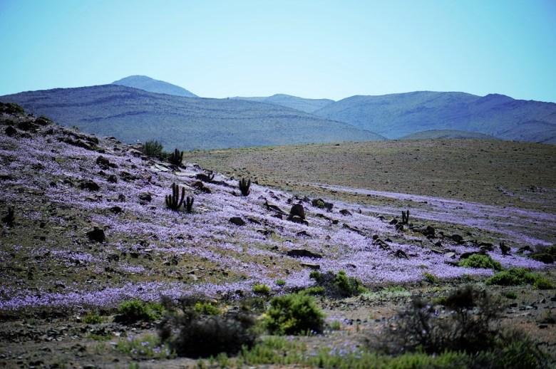 Le rose di Atacama hanno ispirato Luis Sepùlveda per un suo racconto e una raccolta di storie