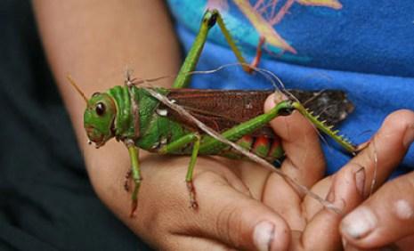 grasshopper1
