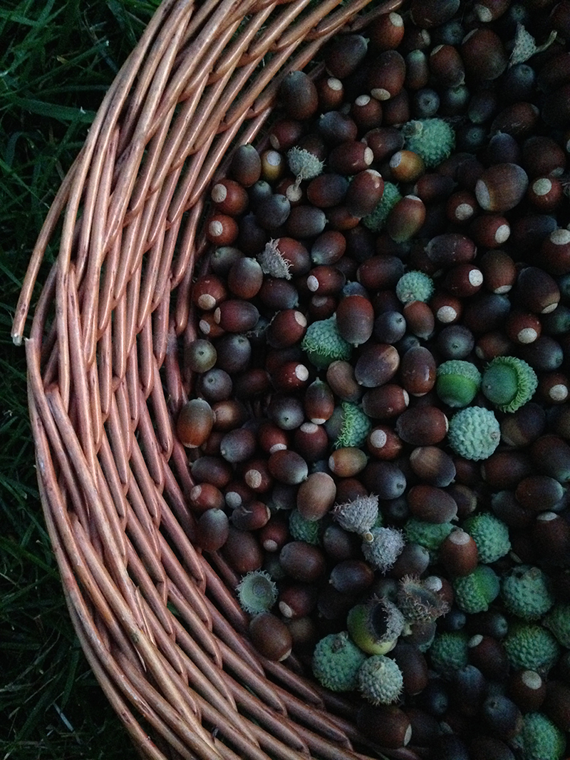 Witches Herbs Acorns