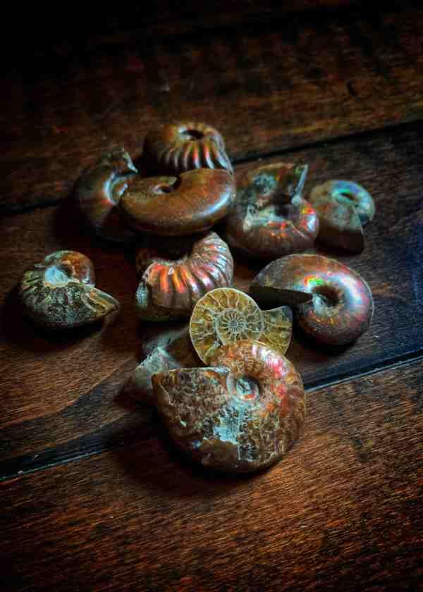 Ammolite Conch Fossil