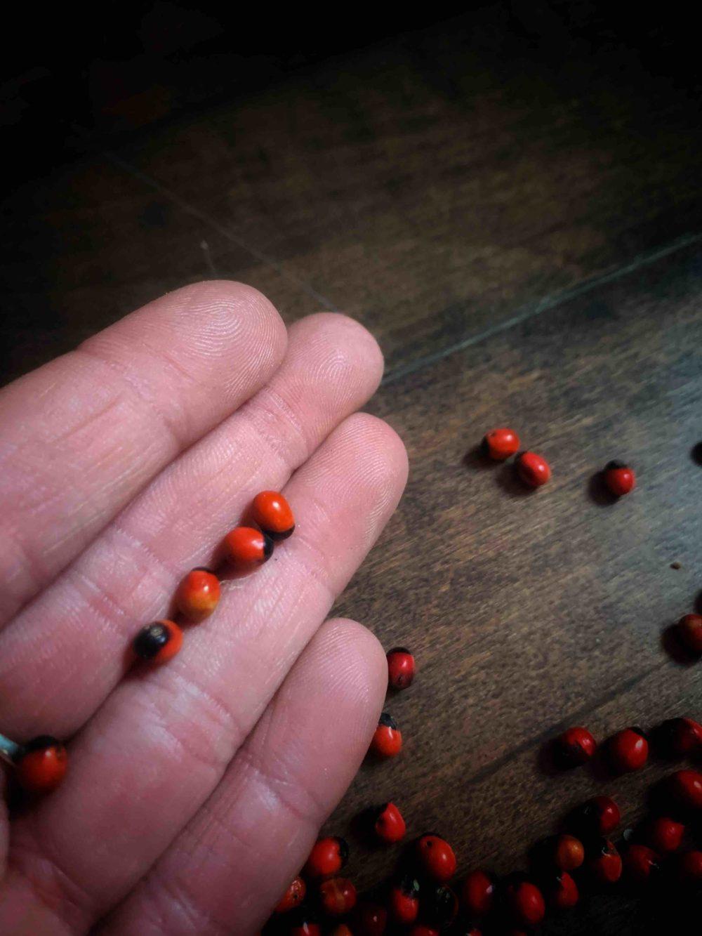 Lady Bug Bean