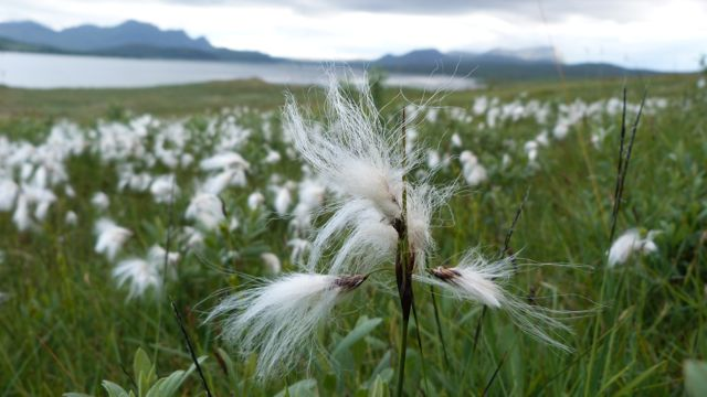 bog cotton blowing in the breeze