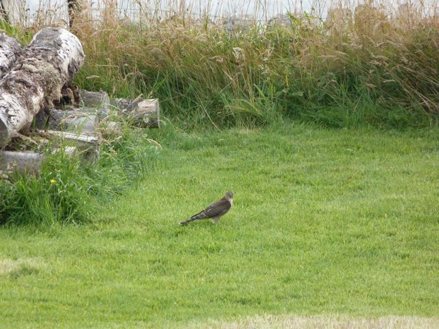 Sparrow Hawk in the garden