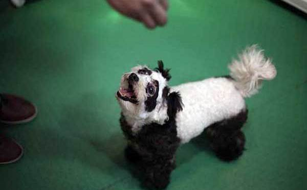 Panda dogs! Dogs made to look like other animals.