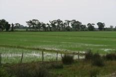 Reisfelder bei Sinop