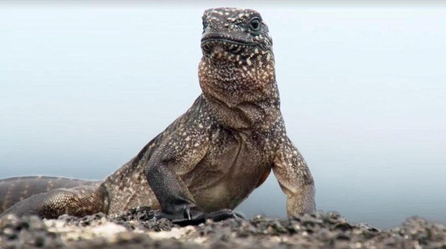 The+hearts+of+viewers+were+captured+by+the+thrilling+story+of+this+marine+iguana%27s+first+moments+on+Earth.