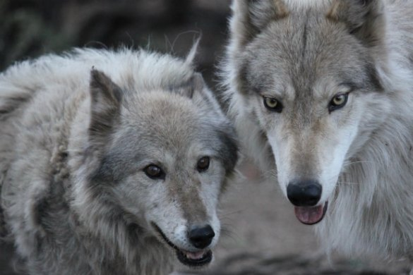 Animal Planet Orders Wolf Rescue Series  Wolves   Warriors   Exclusive   Wolves and Warriors    Animal Planet