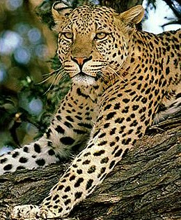 Leopard or Panthere