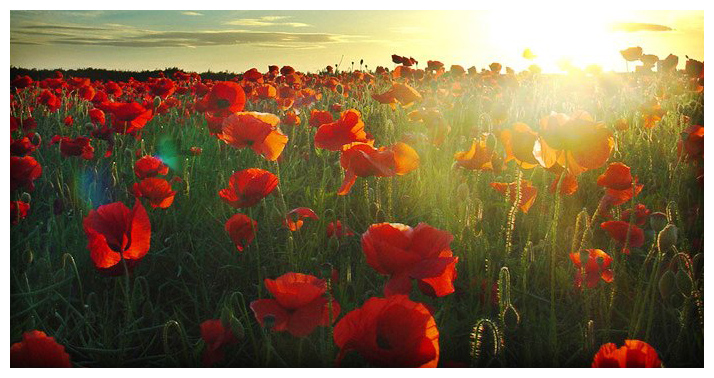Should we feel obliged to wear a red poppy? - The Yorker
