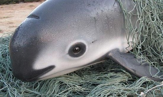 Despite Government Efforts, Vaquita Nears Extinction (Photo: banderasnews.com)