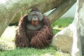 Jambi, a 26 year old orangutan died last year of pancreatitits (Photo: El Universal)