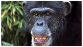 Lío, a 35 year old chimpancee died mysteriously on March 23, 2016 (PHoto: El Universal)