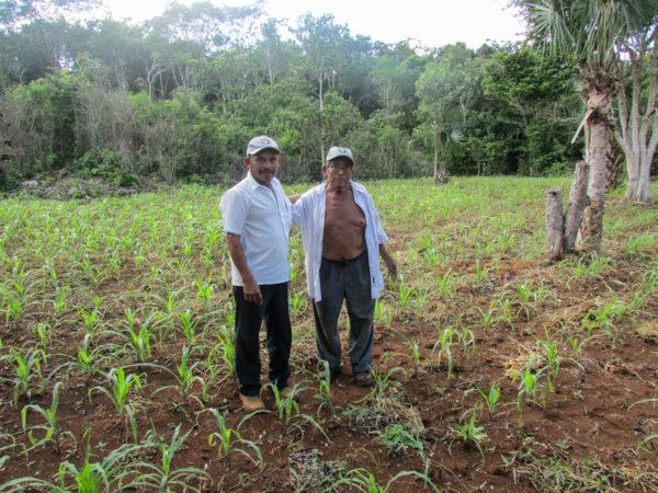 Farmers Gualberto Casanova (left) and Dionisio Yam Moo stand among young corn plants in Yam Moo's improved milpa plot. (PHOTO: Gabriel Popkin)