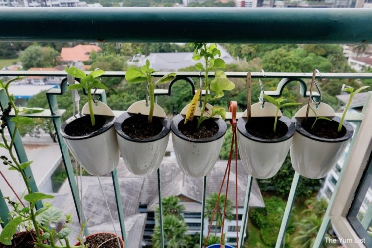 Edible Balcony Gardening Malaysia 10 Mistakes I Made The Yum List