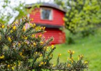 Train Carriage and Gorse