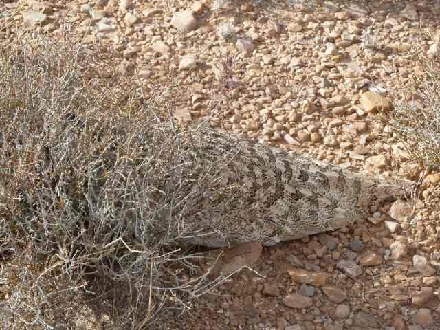 camouflage de l'outarde houbara