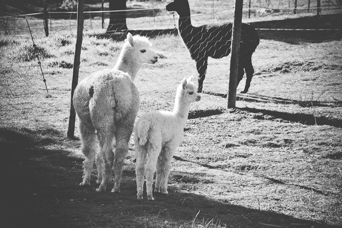 alpaca loom-11