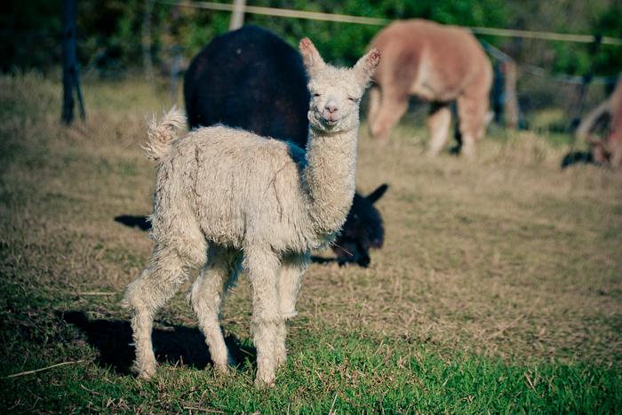 alpaca loom-4