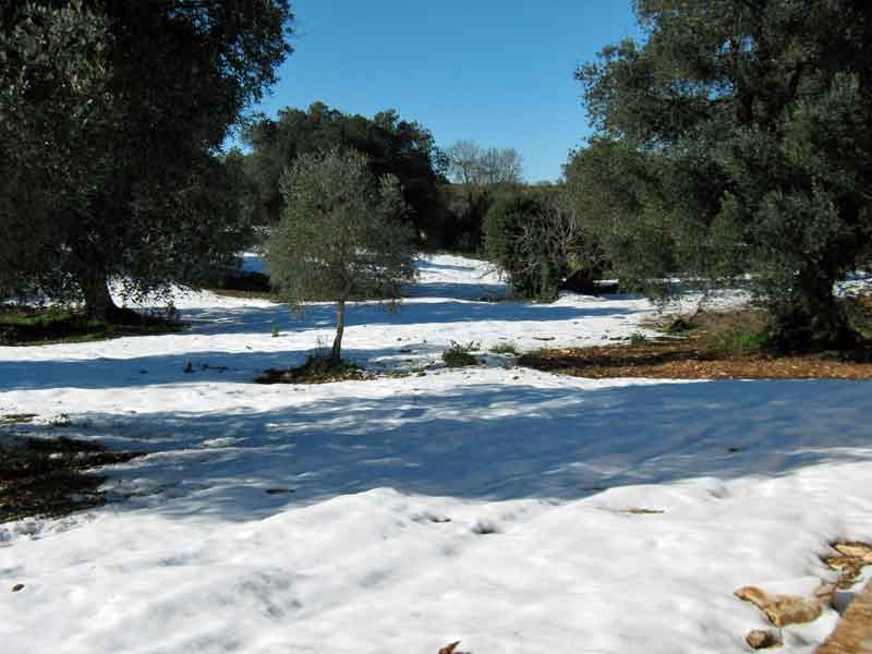 Snow in the olive grove at Trulli Angelo, Puglia.
