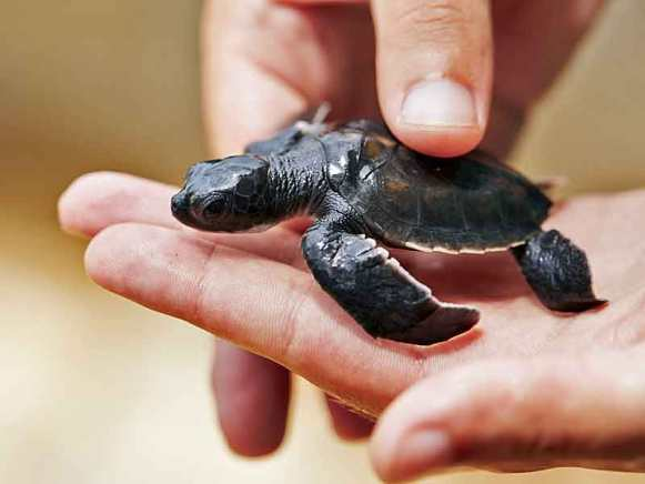 Just hatched turtle.