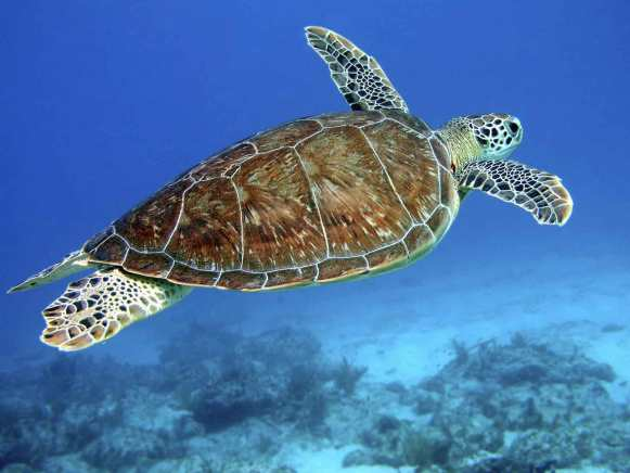 """A sea turtle """"flying"""" through the water."""