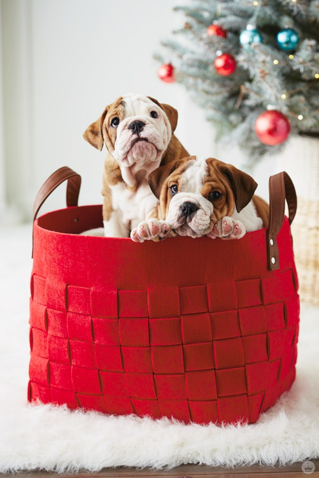 holiday pet photo ideas: dogs in a basket