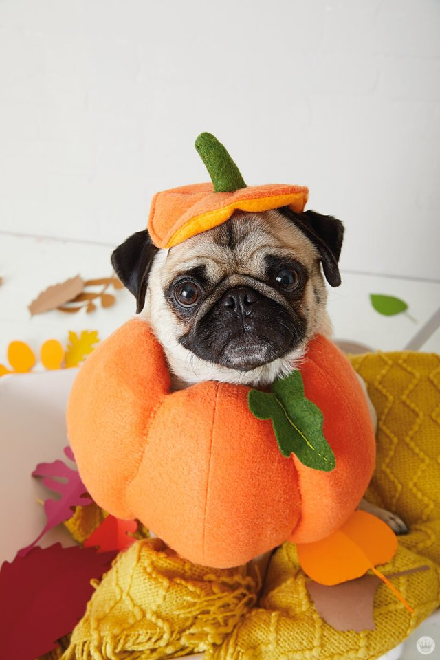 Pug in a pumpkin costume—so, a pugkin?