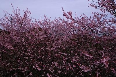 皇子山公園の寒桜