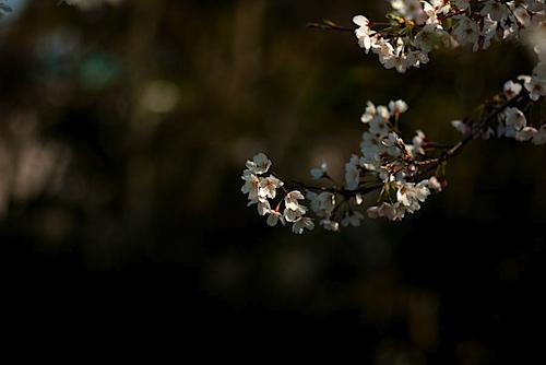 皇子山公園の桜