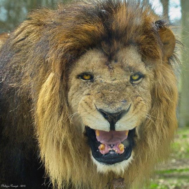 1_lions_save