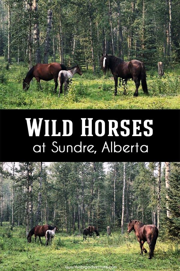 Wild Horses of Sundre, Alberta