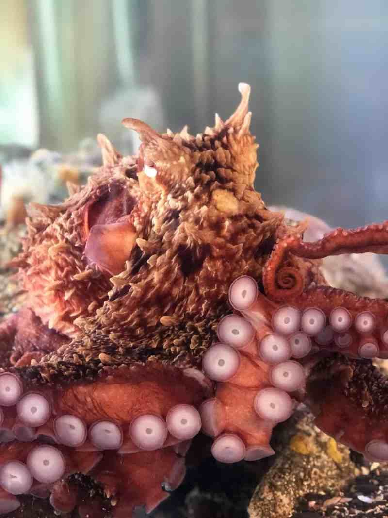 Giant Pacific Octopus, Ucluelet Aquarium