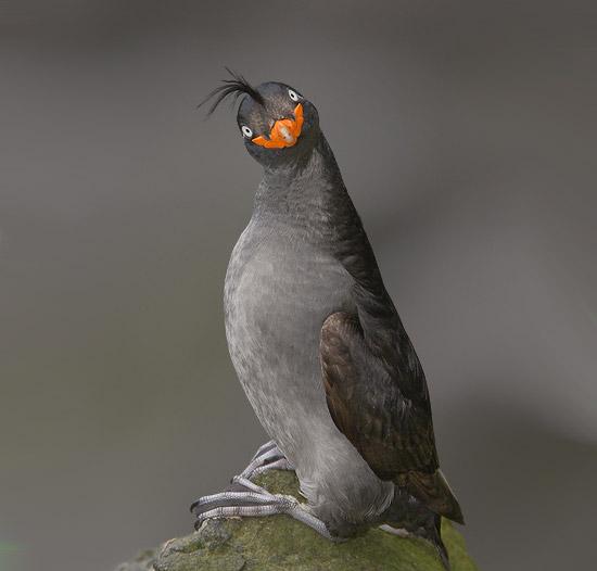 funnybird