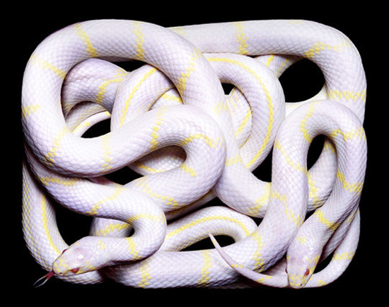 white-yellow-snake