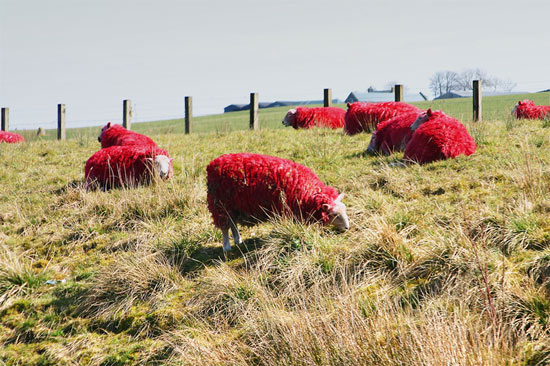 sheeps-red