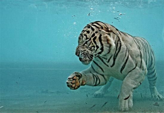 tigerwaterwhite