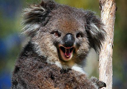 koala teeth