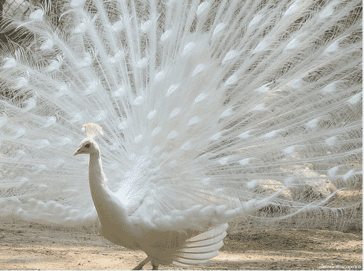 The Cute Peacock and Cute Animals