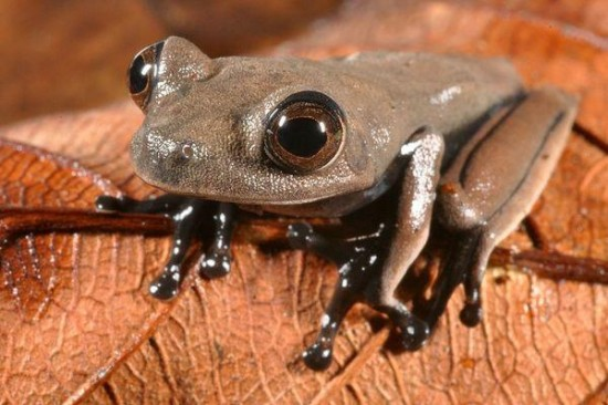 cocoa frog